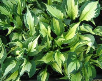 зеленые листья хосты