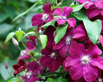 цветущий куст клематиса с розовыми цветками