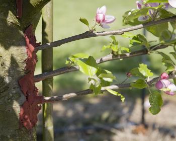 прививание веток яблони