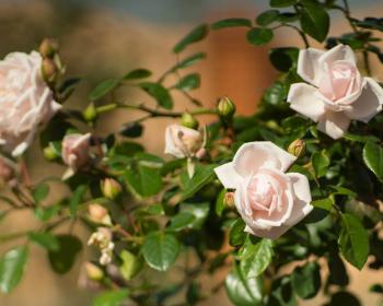 цветущие кустарники с розами