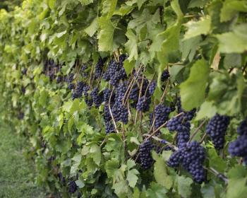 виноградные лозы с плодами