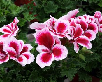 герань с розовыми цветочками