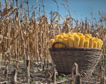 плетеная корзина с кукурузой