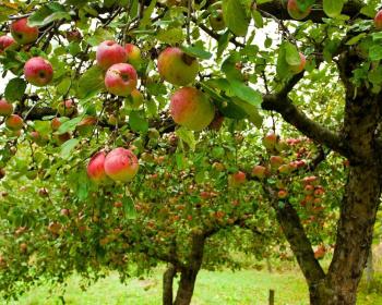 яблоневые деревья с плодами в саду