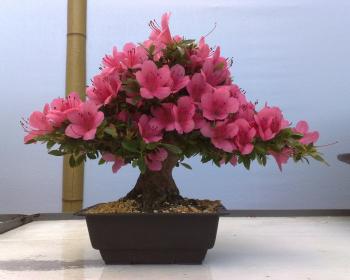 комнатная розовая азалия в горшке