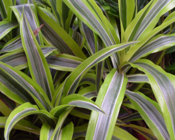 листья комнатной драцены