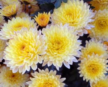 хризантемы с желтыми цветками