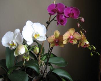 фаленопсисы с оранжевыми, розовыми и белыми цветочками