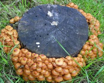 сухой пень с грибами