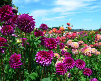 цветущие фиолетовые георгины