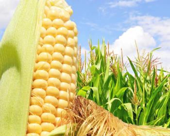 желтый початок кукурузы в поле