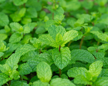 зеленые листья мяты на веточках