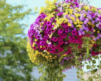 цветущие петунии в кашпо