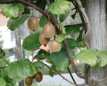 киви, растущие на дереве