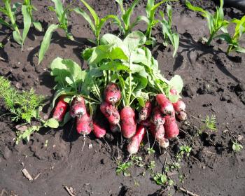 редис с ботвой на огороде