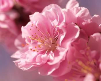 розовые цветки сакуры