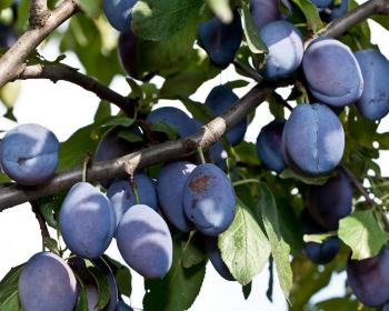 синие сливы на ветке с листвой