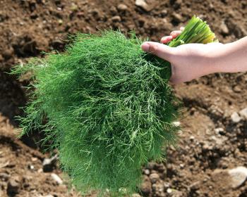 пучок свежей зелени укропа
