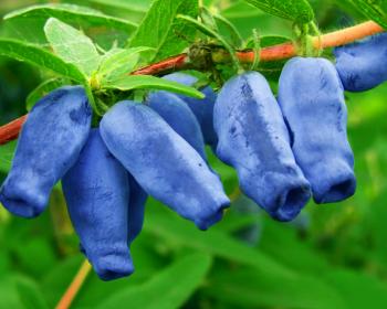 ягоды жимолости на ветке