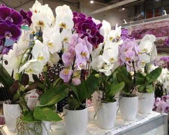 цветущие орхидеи в белых горшочках
