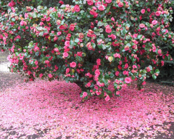 куст цветущей камелии