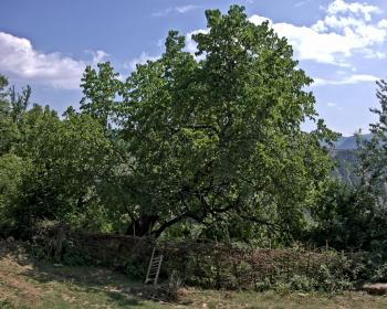 дерево шелковицы в саду