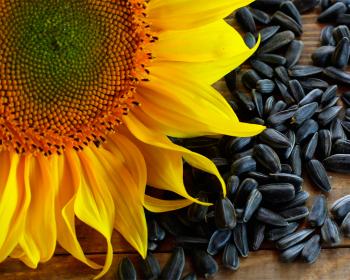 цветок и семена подсолнуха