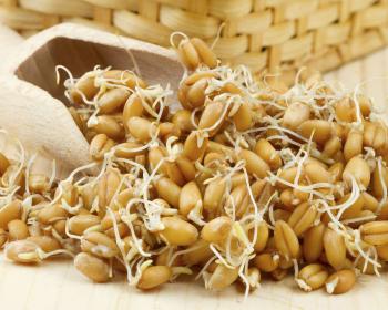 проросшие зерна пшеницы на столе