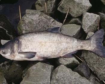 рыба толстолобик на камнях