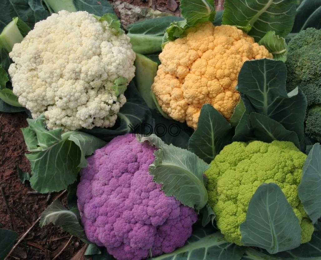 Как вырастить цветную капусту правила и советы