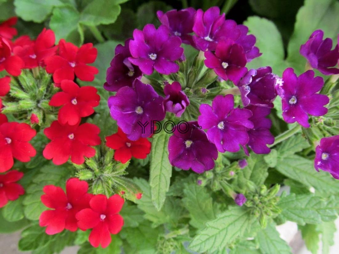 цветущие вербены с красными и фиолетовыми цветками